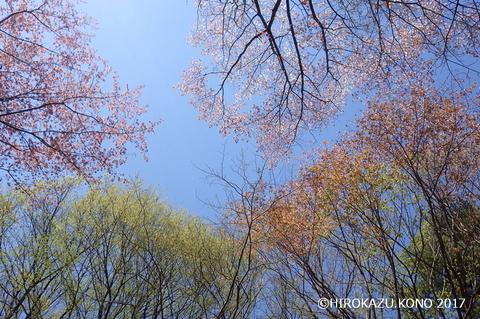 2017春の雑木-1_1.jpg