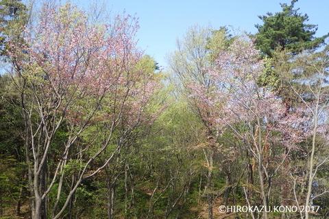2017春の雑木-2_1.jpg