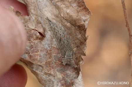 ゴマダラ幼虫0105-1_1.jpg
