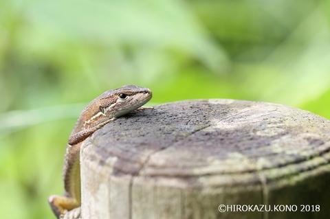 ニホンカナヘビ0613-1_1.jpg