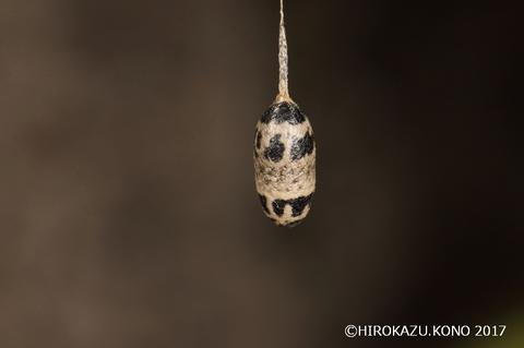 ホウネンタワラヒメアメバチ_1.jpg