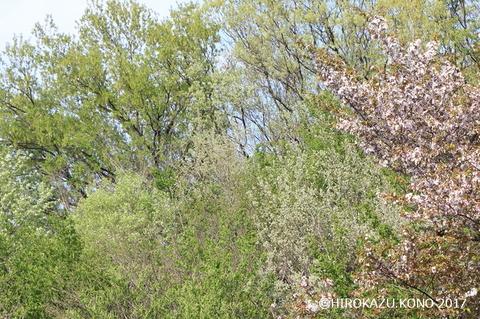 春の雑木林0416_1.jpg