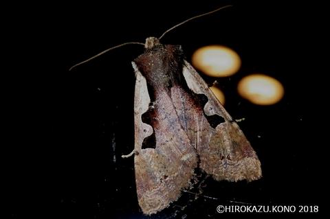 ヤマノモンキリガ1207-1_1.jpg